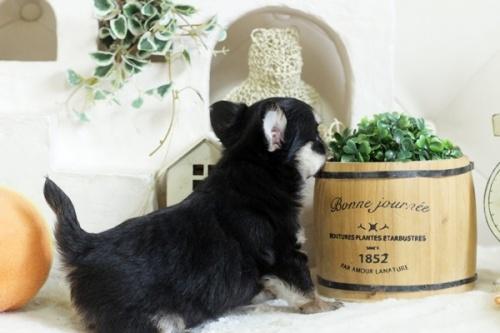 チワワ(ロング)の子犬(ID:1255411783)の2枚目の写真/更新日:2017-10-17