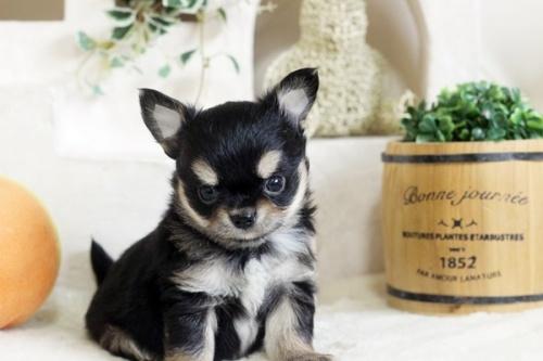 チワワ(ロング)の子犬(ID:1255411783)の3枚目の写真/更新日:2020-11-17