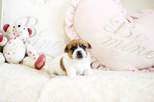ジャックラッセルテリアの子犬(ID:1255411784)の1枚目の写真/更新日:2017-10-17