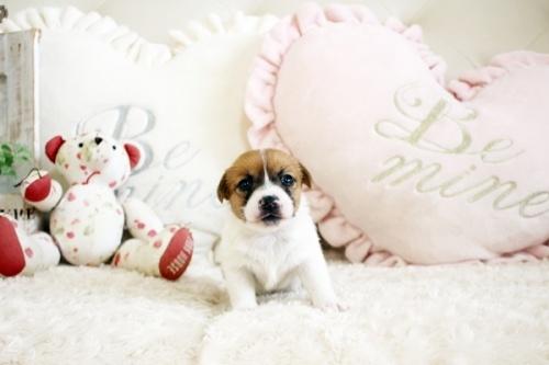ジャックラッセルテリアの子犬(ID:1255411784)の2枚目の写真/更新日:2017-10-17