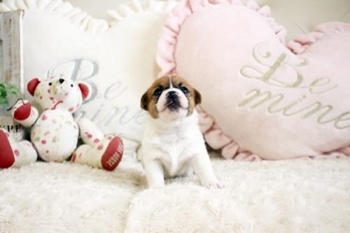 ジャックラッセルテリアの子犬(ID:1255411784)の3枚目の写真/更新日:2020-03-12