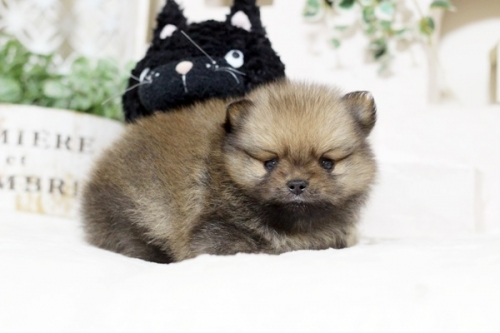 ポメラニアンの子犬(ID:1255411785)の1枚目の写真/更新日:2017-10-27