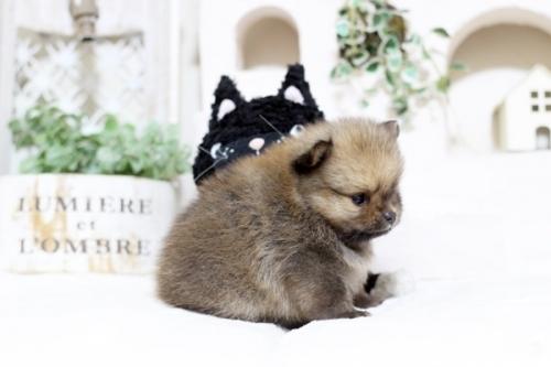ポメラニアンの子犬(ID:1255411785)の2枚目の写真/更新日:2017-10-27