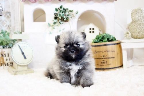 ポメラニアンの子犬(ID:1255411786)の1枚目の写真/更新日:2017-10-27