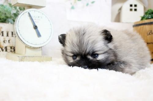 ポメラニアンの子犬(ID:1255411786)の2枚目の写真/更新日:2020-07-07