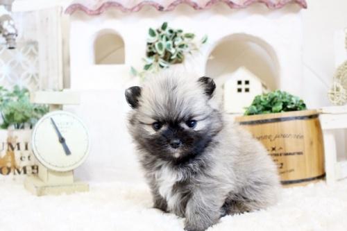 ポメラニアンの子犬(ID:1255411786)の3枚目の写真/更新日:2020-07-07