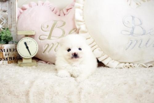 ポメラニアンの子犬(ID:1255411787)の1枚目の写真/更新日:2017-10-27