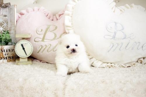 ポメラニアンの子犬(ID:1255411787)の2枚目の写真/更新日:2020-07-07