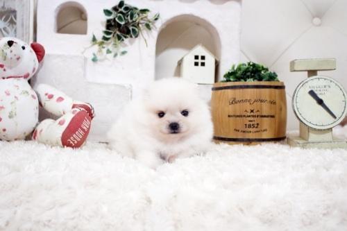 ポメラニアンの子犬(ID:1255411788)の1枚目の写真/更新日:2017-10-27