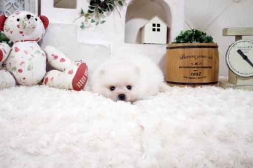 ポメラニアンの子犬(ID:1255411788)の3枚目の写真/更新日:2021-09-11
