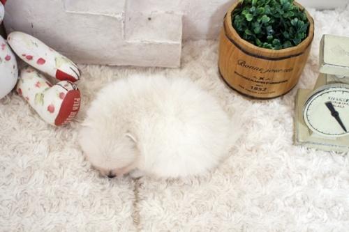 ポメラニアンの子犬(ID:1255411788)の4枚目の写真/更新日:2021-09-11