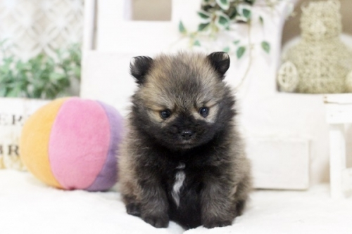 ポメラニアンの子犬(ID:1255411789)の1枚目の写真/更新日:2021-02-21