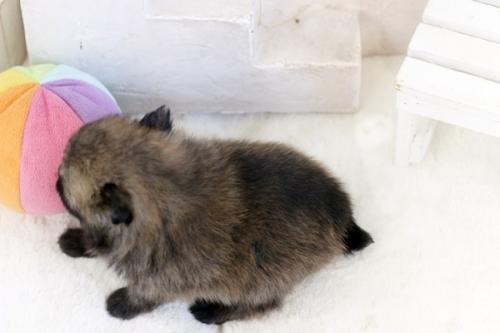 ポメラニアンの子犬(ID:1255411789)の3枚目の写真/更新日:2021-02-21