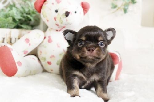 チワワ(ロング)の子犬(ID:1255411790)の1枚目の写真/更新日:2017-10-27