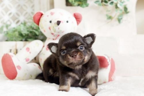 チワワ(ロング)の子犬(ID:1255411790)の2枚目の写真/更新日:2017-10-27