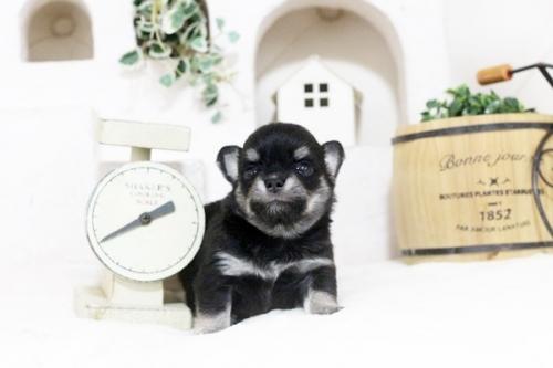 チワワ(ロング)の子犬(ID:1255411791)の1枚目の写真/更新日:2017-10-27