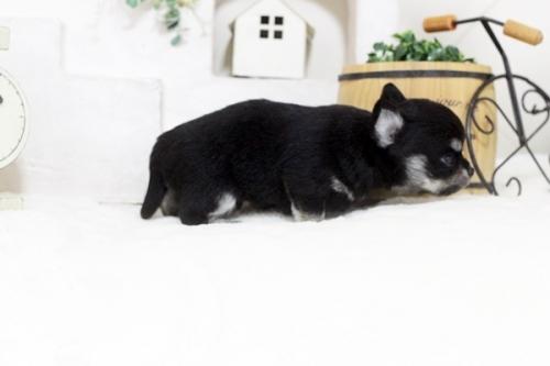 チワワ(ロング)の子犬(ID:1255411791)の3枚目の写真/更新日:2018-08-19