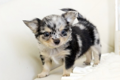 チワワ(ロング)の子犬(ID:1255411792)の1枚目の写真/更新日:2018-08-19