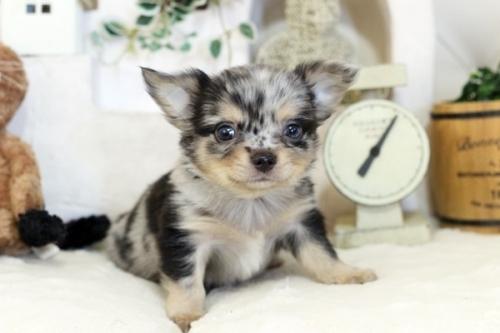 チワワ(ロング)の子犬(ID:1255411792)の2枚目の写真/更新日:2017-10-27