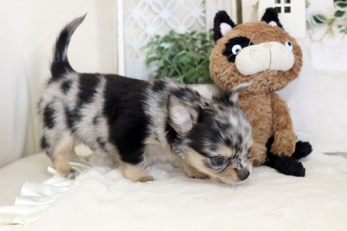 チワワ(ロング)の子犬(ID:1255411792)の3枚目の写真/更新日:2017-10-27