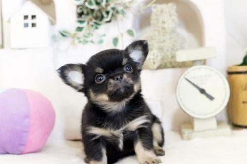 チワワ(ロング)の子犬(ID:1255411793)の1枚目の写真/更新日:2017-10-27