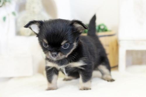 チワワ(ロング)の子犬(ID:1255411793)の2枚目の写真/更新日:2017-10-27