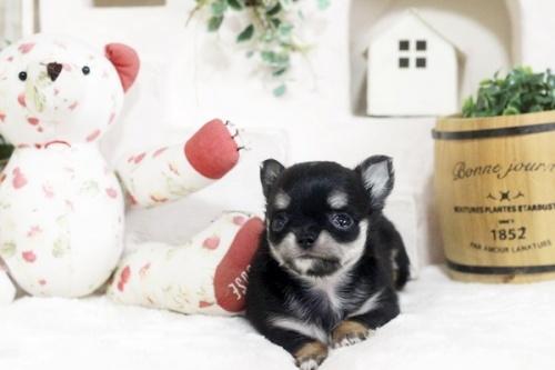 チワワ(ロング)の子犬(ID:1255411794)の1枚目の写真/更新日:2018-07-17