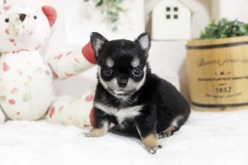 チワワ(ロング)の子犬(ID:1255411794)の2枚目の写真/更新日:2017-10-27