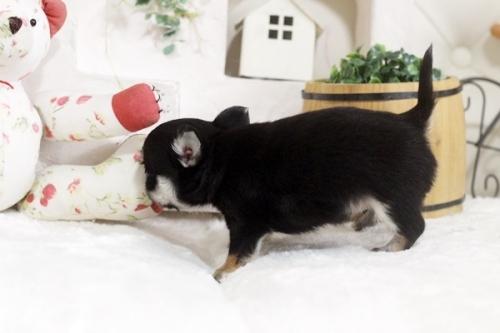 チワワ(ロング)の子犬(ID:1255411794)の3枚目の写真/更新日:2020-06-05