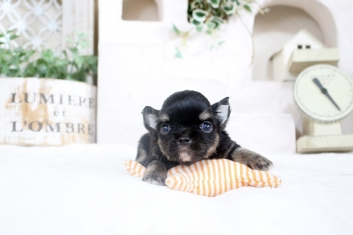 チワワ(ロング)の子犬(ID:1255411795)の1枚目の写真/更新日:2018-08-07