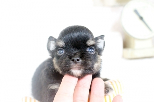 チワワ(ロング)の子犬(ID:1255411795)の2枚目の写真/更新日:2018-08-07