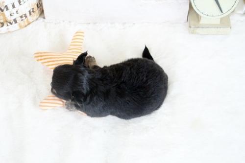 チワワ(ロング)の子犬(ID:1255411795)の4枚目の写真/更新日:2018-08-07