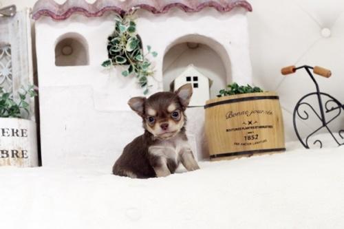 チワワ(スムース)の子犬(ID:1255411796)の1枚目の写真/更新日:2017-10-27