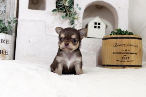 チワワ(スムース)の子犬(ID:1255411796)の2枚目の写真/更新日:2017-10-27