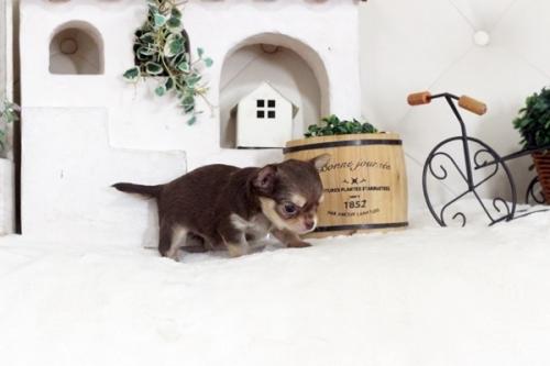 チワワ(ロング)の子犬(ID:1255411796)の3枚目の写真/更新日:2018-07-17