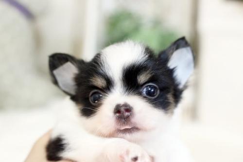 チワワ(ロング)の子犬(ID:1255411797)の1枚目の写真/更新日:2017-11-02