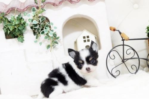 チワワ(ロング)の子犬(ID:1255411797)の2枚目の写真/更新日:2017-11-02