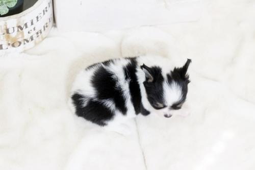 チワワ(ロング)の子犬(ID:1255411797)の3枚目の写真/更新日:2017-11-02