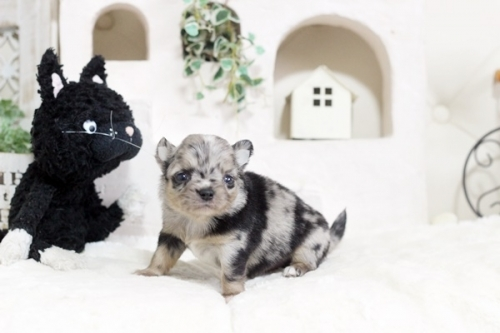 チワワ(ロング)の子犬(ID:1255411798)の1枚目の写真/更新日:2017-11-02