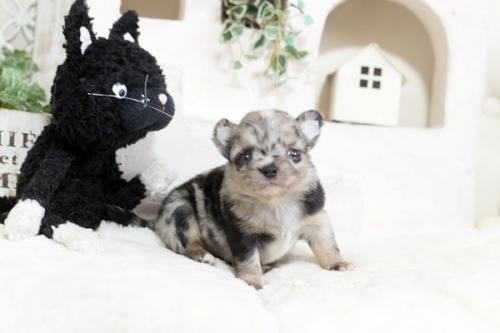 チワワ(ロング)の子犬(ID:1255411798)の2枚目の写真/更新日:2018-12-07