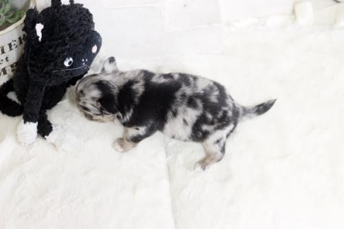 チワワ(ロング)の子犬(ID:1255411798)の3枚目の写真/更新日:2017-11-02