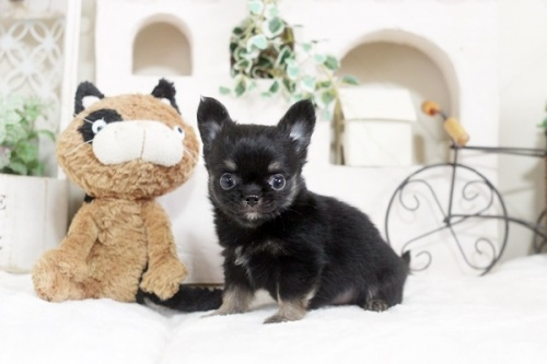 チワワ(ロング)の子犬(ID:1255411799)の1枚目の写真/更新日:2017-11-02