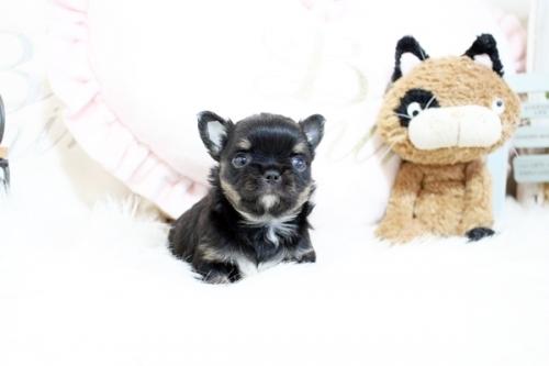 チワワ(ロング)の子犬(ID:1255411799)の2枚目の写真/更新日:2017-11-02