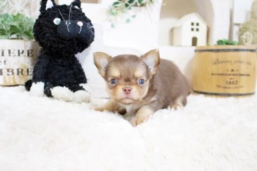 チワワ(スムース)の子犬(ID:1255411800)の2枚目の写真/更新日:2017-11-02