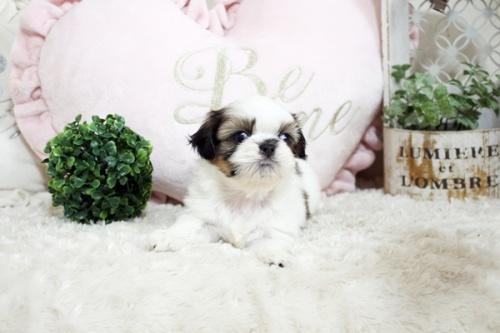 シーズーの子犬(ID:1255411802)の1枚目の写真/更新日:2017-11-06