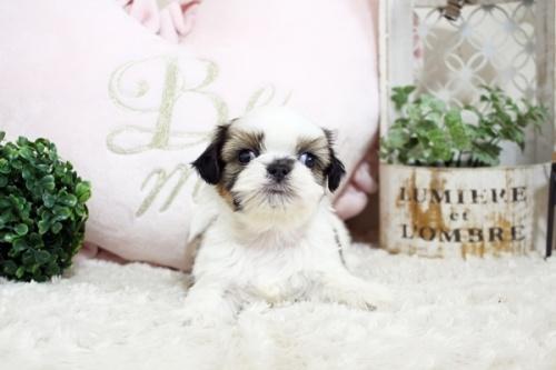 シーズーの子犬(ID:1255411802)の3枚目の写真/更新日:2017-11-06