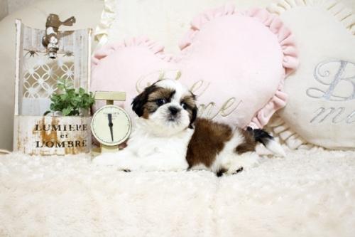 シーズーの子犬(ID:1255411803)の1枚目の写真/更新日:2017-11-06