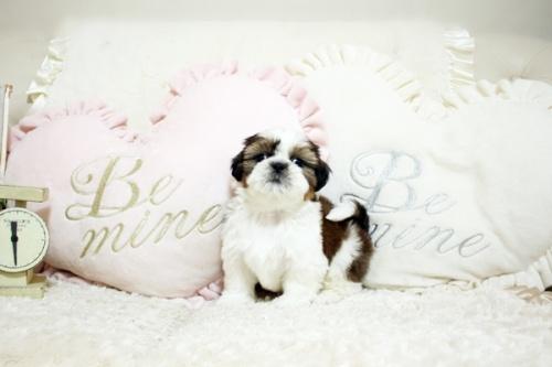 シーズーの子犬(ID:1255411803)の2枚目の写真/更新日:2017-11-06