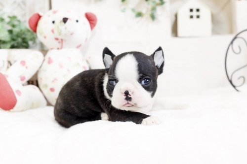 ボストンテリアの子犬(ID:1255411804)の1枚目の写真/更新日:2017-11-10