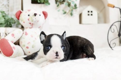 ボストンテリアの子犬(ID:1255411804)の2枚目の写真/更新日:2019-06-02